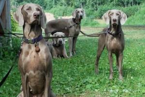 Купить ROYAL CANIN Сухой корм для щенков породы