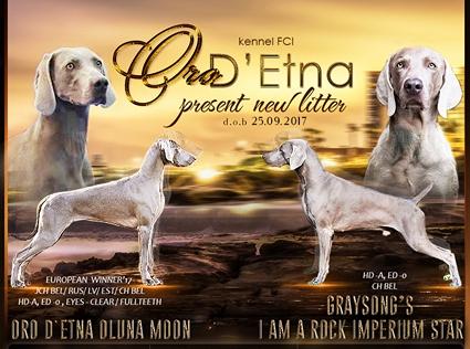 Племенной питомник Oro D'Etna предлагает для резервирования щенков веймаранера от Чемпионов породы.