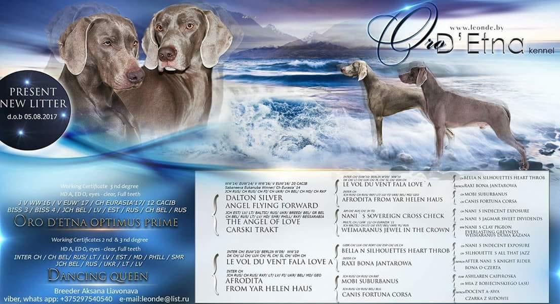 Племенной питомник Oro D'Etna предлагает подрощенных щенков веймаранера от Чемпионов породы.